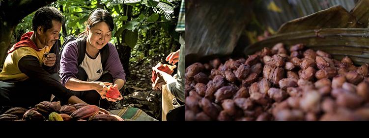 インドネシア スラウェシ島にてカカオの収穫風景/バナナの葉で発酵させているカカオ豆